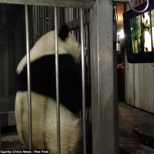 panda csc3
